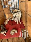 Pure Siberian Husky Puppies Available, Call + | Cats & Kittens for sale in Kampala, Central Region, Nigeria