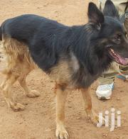 Male German Shepherd for Mating | Dogs & Puppies for sale in Central Region, Kampala