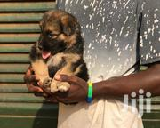 German Shepard | Dogs & Puppies for sale in Central Region, Kampala