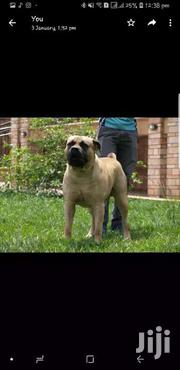 Male Boerboel Available For Mating | Dogs & Puppies for sale in Central Region, Kampala