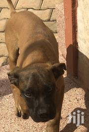 Missing Puppy | Dogs & Puppies for sale in Central Region, Kampala