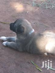 German Shepherd Purpies | Dogs & Puppies for sale in Central Region, Kampala