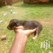 Cross German Pappies | Dogs & Puppies for sale in Central Region, Mukono