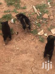 Active Dog Trainers U | Dogs & Puppies for sale in Central Region, Kampala