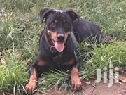 Rottweiler | Dogs & Puppies for sale in Central Region, Kampala