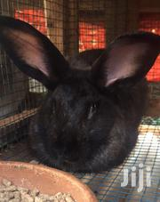 Exotic Rabbits Available | Other Animals for sale in Central Region, Kampala
