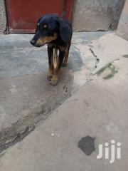 Cross of Rott German Shepherd | Dogs & Puppies for sale in Central Region, Kampala