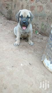Boerbull Puppy For Sela | Dogs & Puppies for sale in Central Region, Kampala