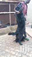 Solid Black Puppies From Good Parents | Dogs & Puppies for sale in Kampala, Central Region, Nigeria