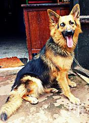 Female GSD | Dogs & Puppies for sale in Central Region, Kampala