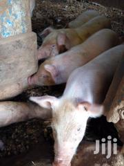 4 Month Old Piglets For Sale | Other Animals for sale in Central Region, Kampala
