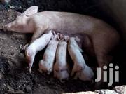 Pig With 8 Piglets For Sale | Livestock & Poultry for sale in Central Region, Kampala