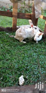 4 Female Adult Rabbits | Other Animals for sale in Central Region, Kampala