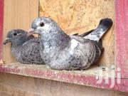 Pigeons For Sale | Birds for sale in Central Region, Kampala