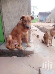 Pitbull Mix Breed | Dogs & Puppies for sale in Central Region, Kampala