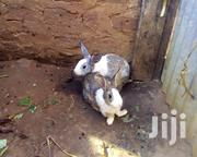 Rabbits And Bunnies | Other Animals for sale in Central Region, Luweero