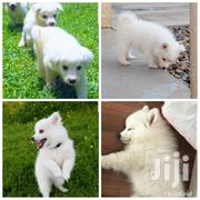 Samoyed Spitz | Dogs & Puppies for sale in Central Region, Kampala