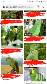 Amazon Parrots | Birds for sale in Central Region, Nakasongola