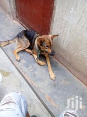 German Shepherd Guard Dog   Dogs & Puppies for sale in Central Region, Kampala
