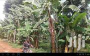 BUSHENYI KITAGATA: 1 Acre (Banana Plantation) | Land & Plots For Sale for sale in Western Region, Bushenyi