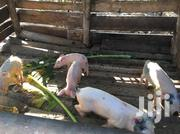 Piglets On Sale Atleast 2.5 Months | Other Animals for sale in Central Region, Kampala
