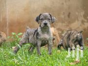 Boerboel Puppies | Dogs & Puppies for sale in Central Region, Kampala