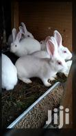 Newzealand White Exotic Rabbits | Other Animals for sale in Kampala, Central Region, Uganda