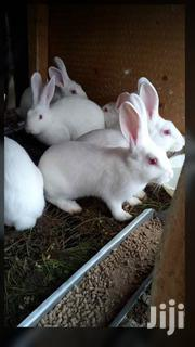 Newzealand White Exotic Rabbits | Other Animals for sale in Central Region, Kampala