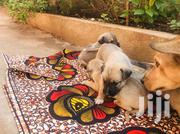 Healthy Puppy | Dogs & Puppies for sale in Central Region, Kampala