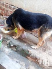 Book German Shepherd Puppies | Dogs & Puppies for sale in Central Region, Kampala