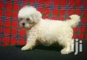 Maltese Dog Puppy | Dogs & Puppies for sale in Central Region, Kampala