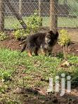 Quality Pedigree Registered German Shepherd Puppies | Dogs & Puppies for sale in Busia, Eastern Region, Nigeria