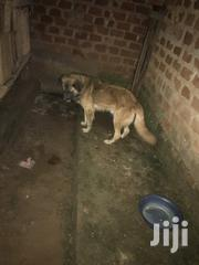 All Dog Breeds for Sale | Dogs & Puppies for sale in Central Region, Kampala