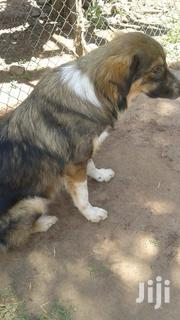 Dog | Dogs & Puppies for sale in Central Region, Kampala