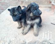 German Shepard Puppies | Cats & Kittens for sale in Central Region, Kampala