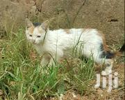 Local Kitten | Cats & Kittens for sale in Central Region, Kampala