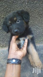 Puppy German Shepherd Dog Cross Breed | Dogs & Puppies for sale in Central Region, Kampala