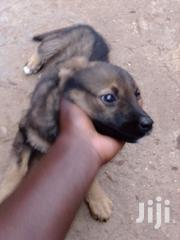 German Shepherd | Dogs & Puppies for sale in Central Region, Kampala