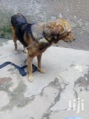 Security Dog for Sale | Dogs & Puppies for sale in Central Region, Kampala