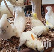 Parrots for Sale | Birds for sale in Central Region, Kampala