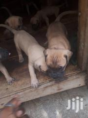 Boerbull Puppies | Dogs & Puppies for sale in Central Region, Kampala