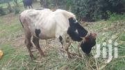 Fresian Bull | Other Animals for sale in Central Region, Kampala