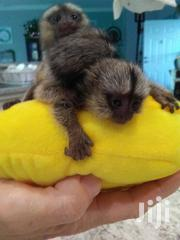 Beautiful Finger Marmoset Monkeys | Other Animals for sale in Central Region, Kampala