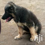 Female German Shepherd Puppy | Dogs & Puppies for sale in Central Region, Kampala