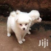 Japanese Spitz | Dogs & Puppies for sale in Central Region, Kampala