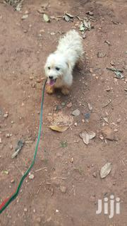 Maltese Pup for Sale | Dogs & Puppies for sale in Central Region, Kampala