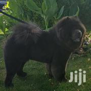 Chow Chow Breed Puppies | Dogs & Puppies for sale in Central Region, Kampala