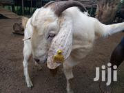 Goats For Sale | Livestock & Poultry for sale in Central Region, Mubende