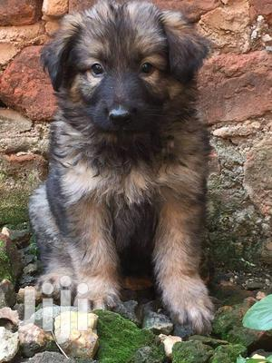 Young Female Purebred German Shepherd Dog