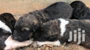 Puppies For Sale | Dogs & Puppies for sale in Central Region, Kampala